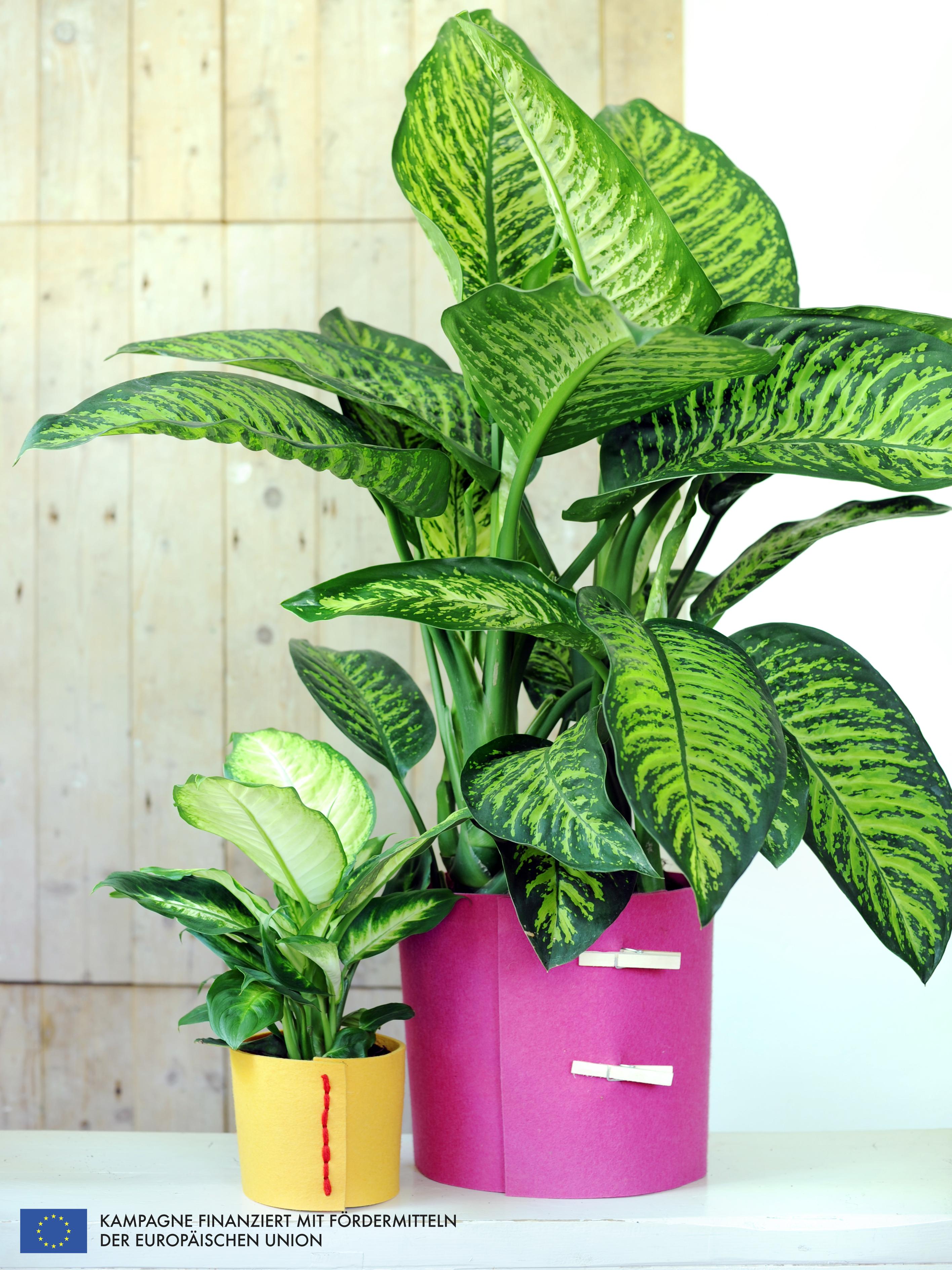 dieffenbachia ist die zimmerpflanze der monats juli pflanzenfreude. Black Bedroom Furniture Sets. Home Design Ideas