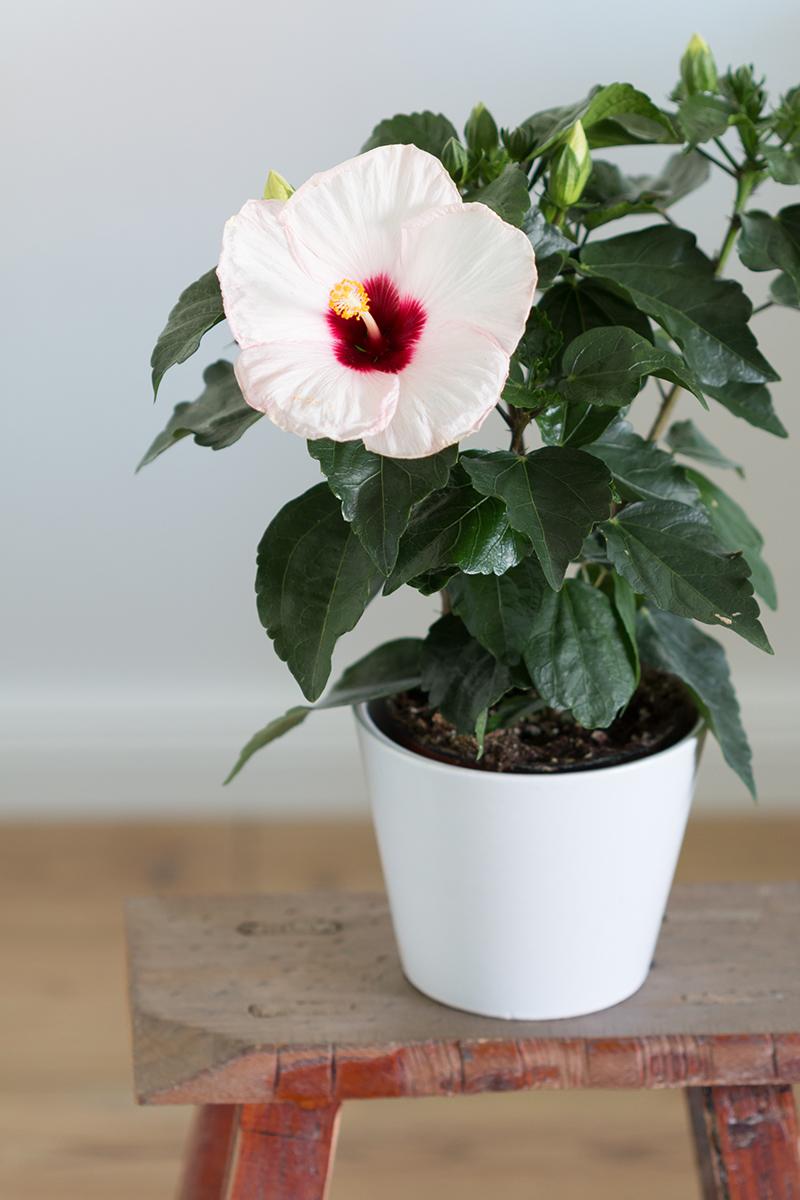 Pflege Hibiskus Zimmerpflanze : zimmerpflanzen und ihre blog patinnen pflanzenfreude ~ Bigdaddyawards.com Haus und Dekorationen
