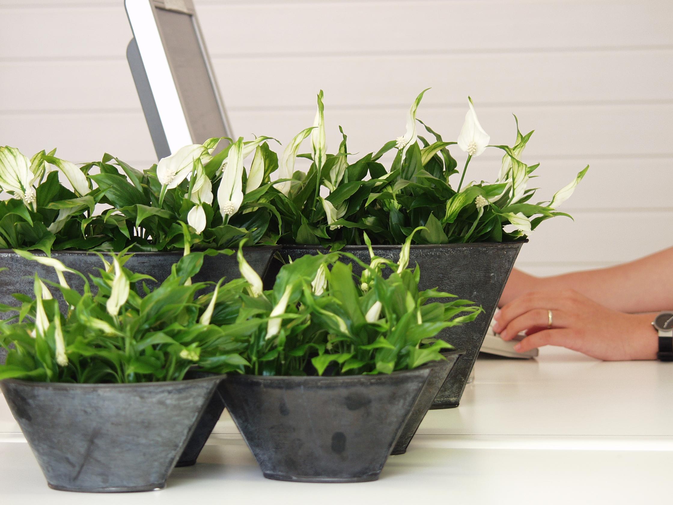 positive effekte von pflanzen am arbeitsplatz pflanzenfreude. Black Bedroom Furniture Sets. Home Design Ideas