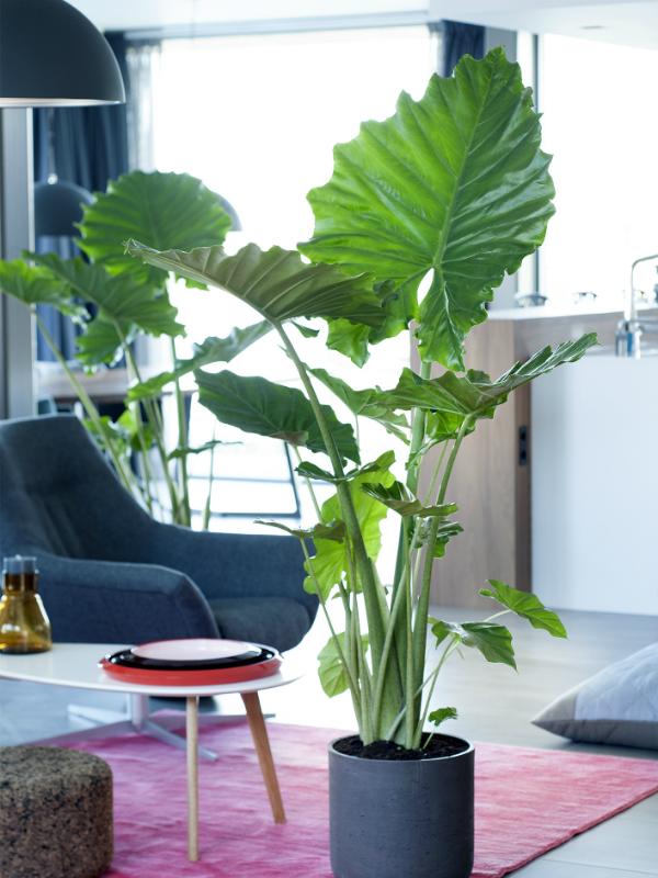 das pfeilblatt ist die zimmerpflanze des monats september pflanzenfreude. Black Bedroom Furniture Sets. Home Design Ideas