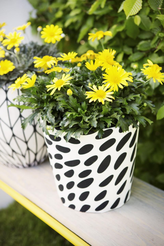 gelbe strauchmargerite pflanzenfreude. Black Bedroom Furniture Sets. Home Design Ideas
