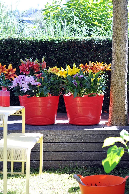 sommerzwiebelpflanzen im topf sind die gartenpflanzen des monats juli pflanzenfreude. Black Bedroom Furniture Sets. Home Design Ideas