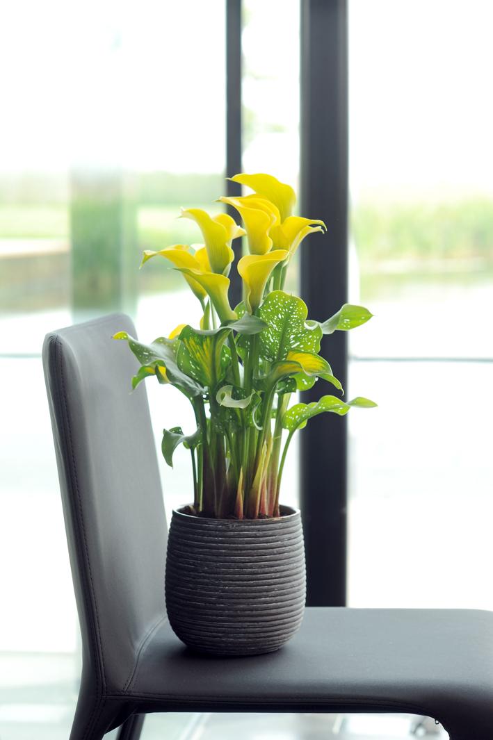 die pflege ihrer zimmercalla pflanzenfreude. Black Bedroom Furniture Sets. Home Design Ideas