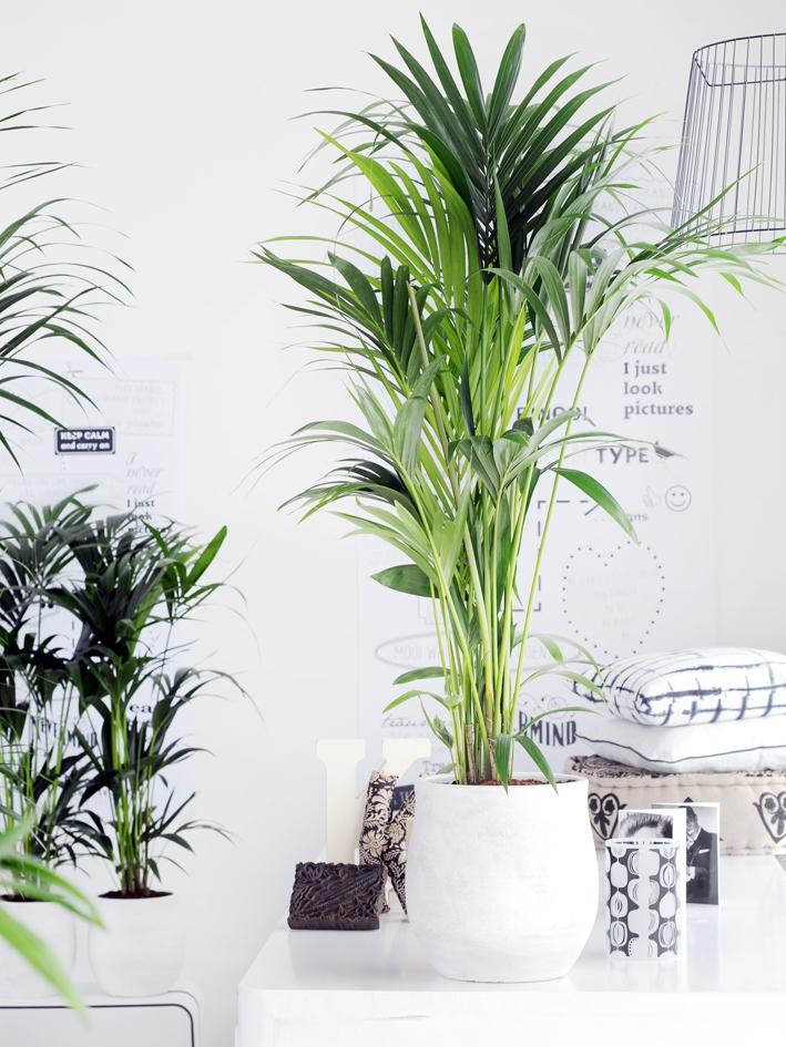 die kentia palme pflanzenfreude. Black Bedroom Furniture Sets. Home Design Ideas