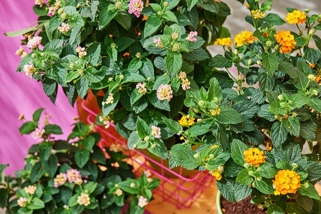 das wandelr schen ist die terrassenpflanze des jahres. Black Bedroom Furniture Sets. Home Design Ideas