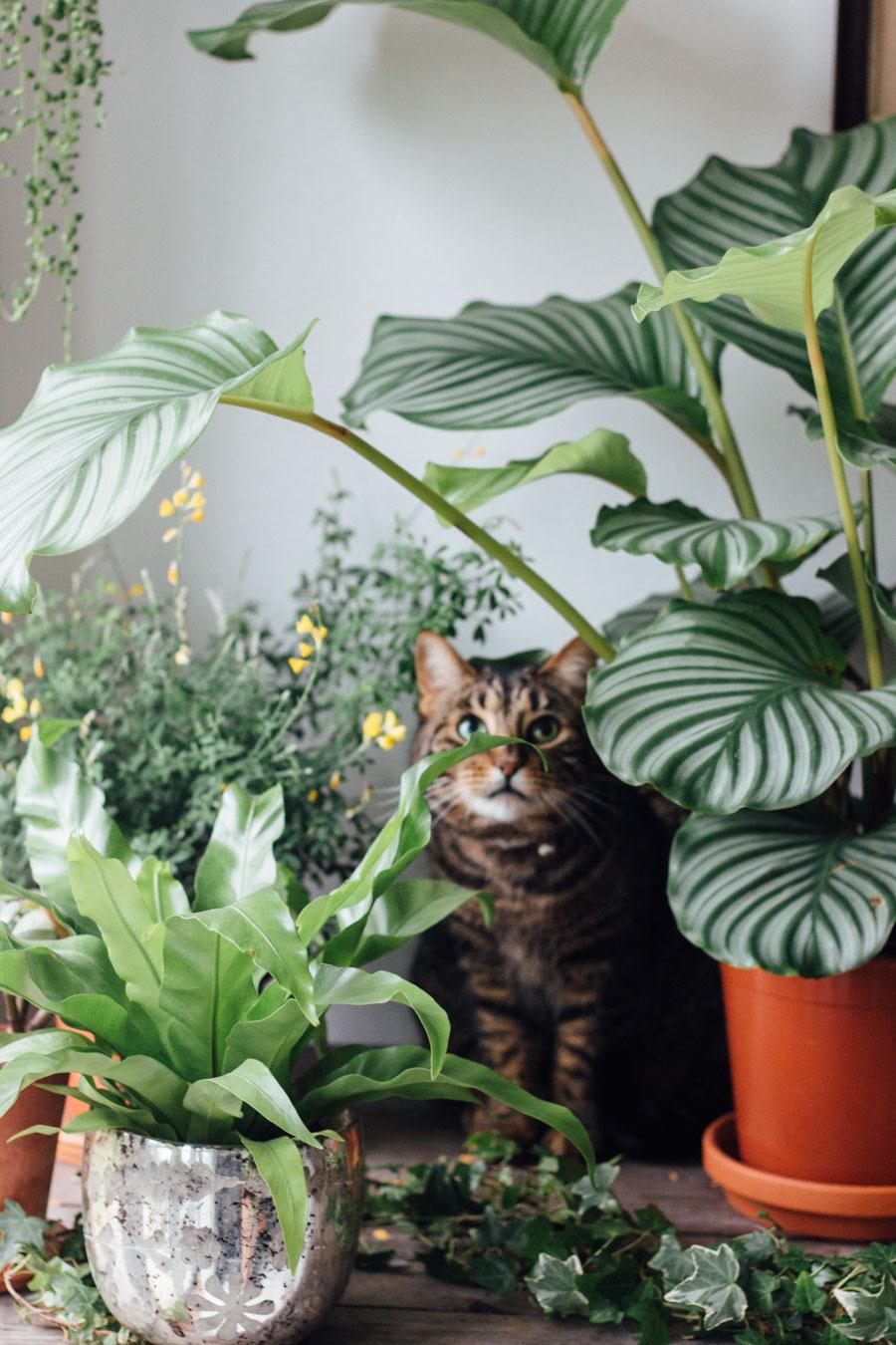 Elefantenfuß Giftig Für Katze haustierfreundliche pflanzen pflanzenfreude