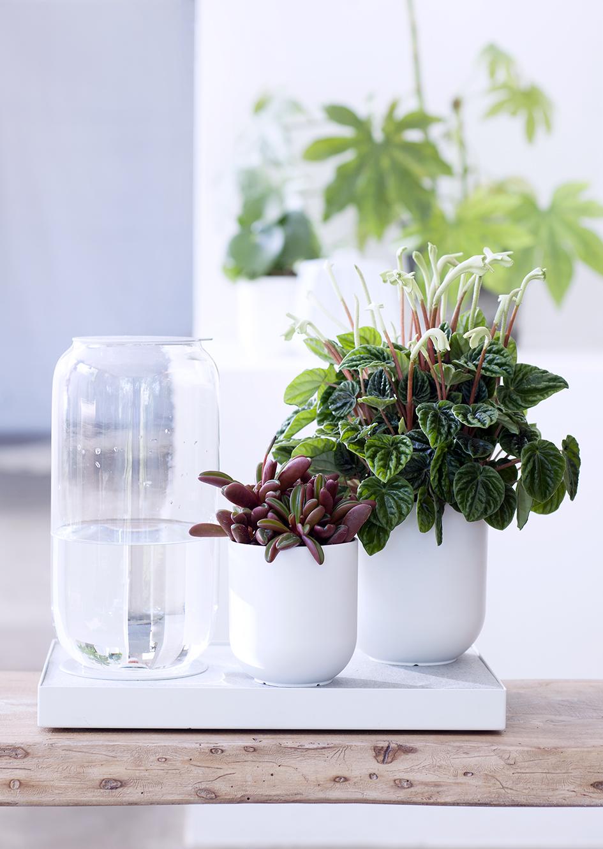 zwergpfeffer ist zimmerpflanze des monats april pflanzenfreude. Black Bedroom Furniture Sets. Home Design Ideas