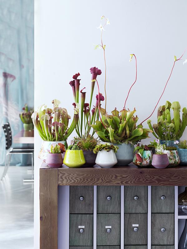 fleischfressende pflanzen pflanzenfreude. Black Bedroom Furniture Sets. Home Design Ideas
