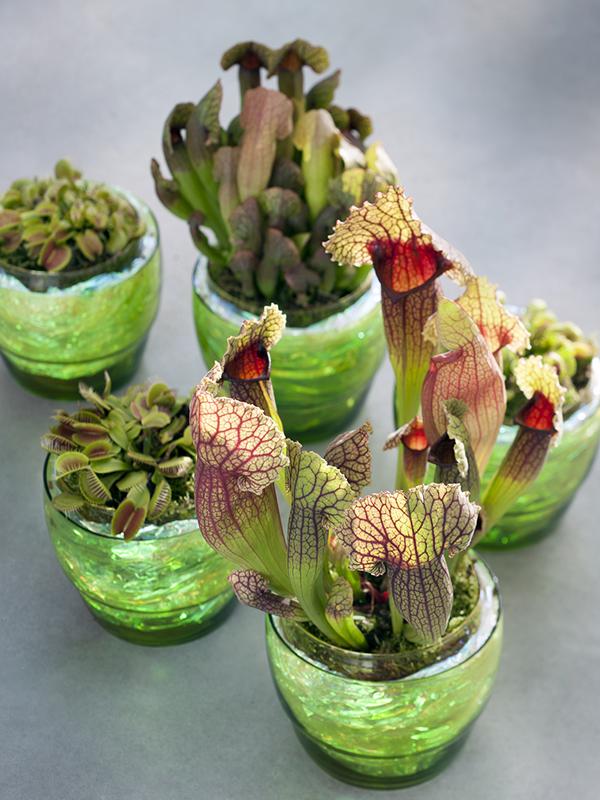Fleischfressende pflanzen sind zimmerpflanzen des monats - Zimmerpflanzen liste ...