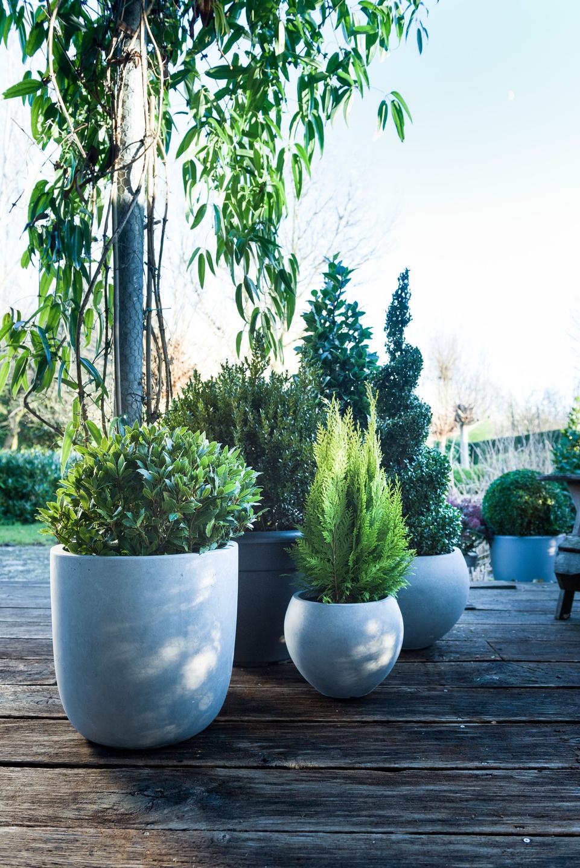 buchsbaum lorbeer und zwergzypresse sind die outdoor stars an weihnachten pflanzenfreude. Black Bedroom Furniture Sets. Home Design Ideas