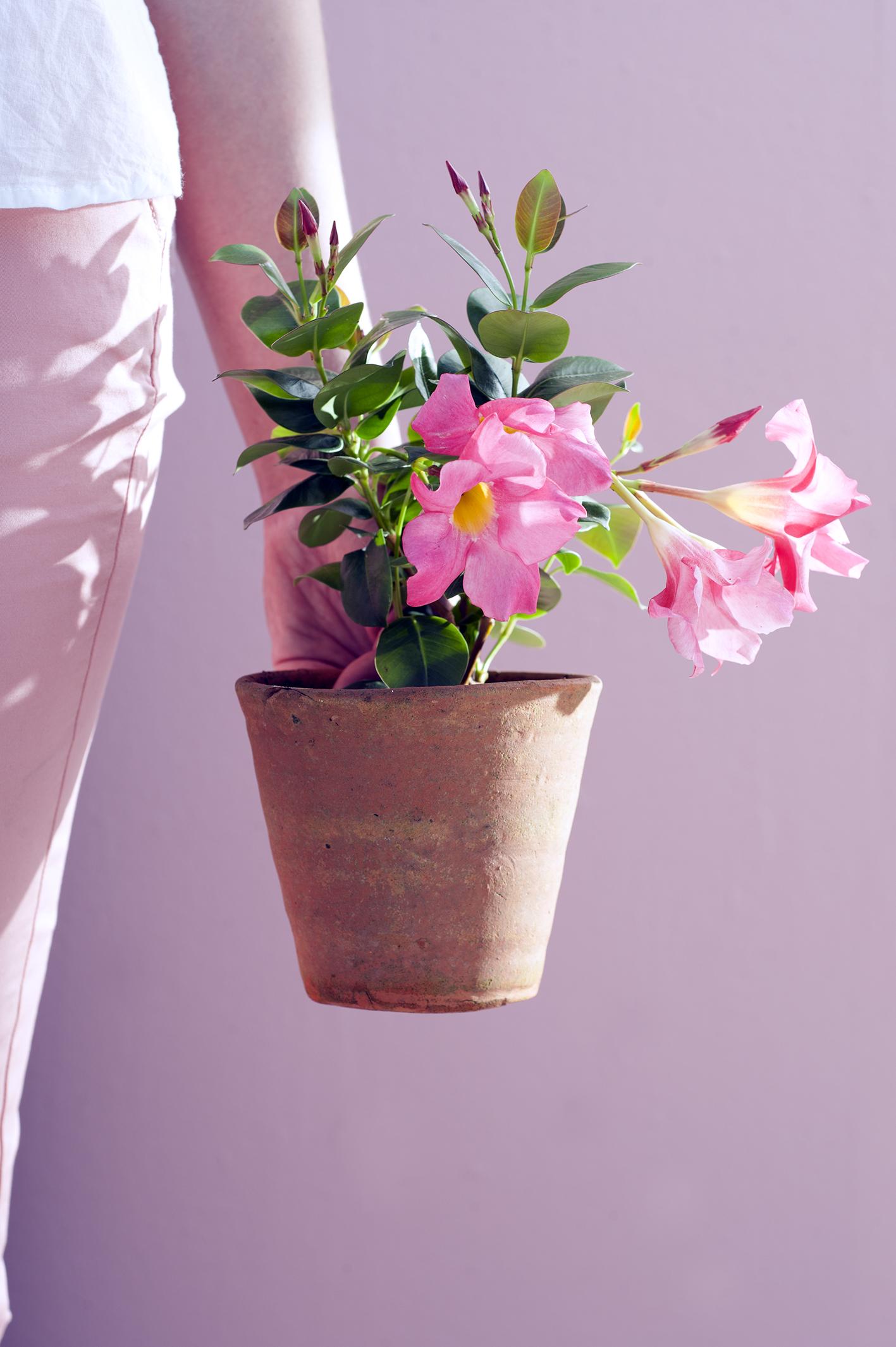 Verschonern Sie Ihre Terrasse Mit Mandevilla Pflanzenfreude