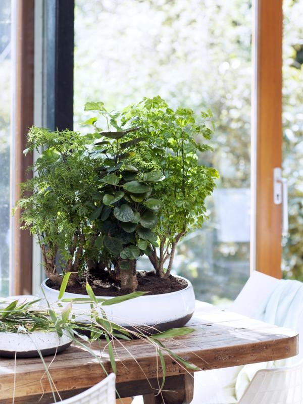 Polyscias steht gern im Schatten – Pflanzenfreude.de