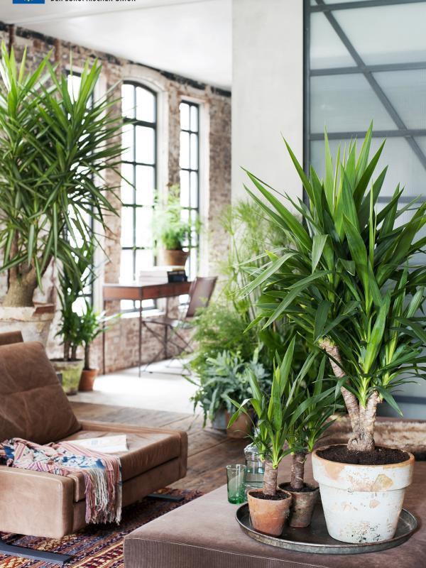 Die Yucca ist Zimmerpflanze des Monats Januar - Pflanzenfreude.de