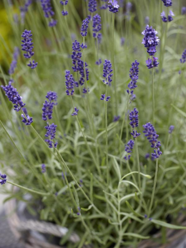 Mediterranes Flair mit dem Lavendel - www.pflanzenfreude.de