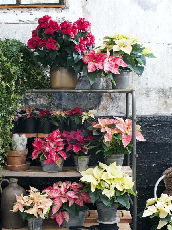 Die Poinsettie, besser bekannt als Weihnachtsstern - Pflanzenfreude.de