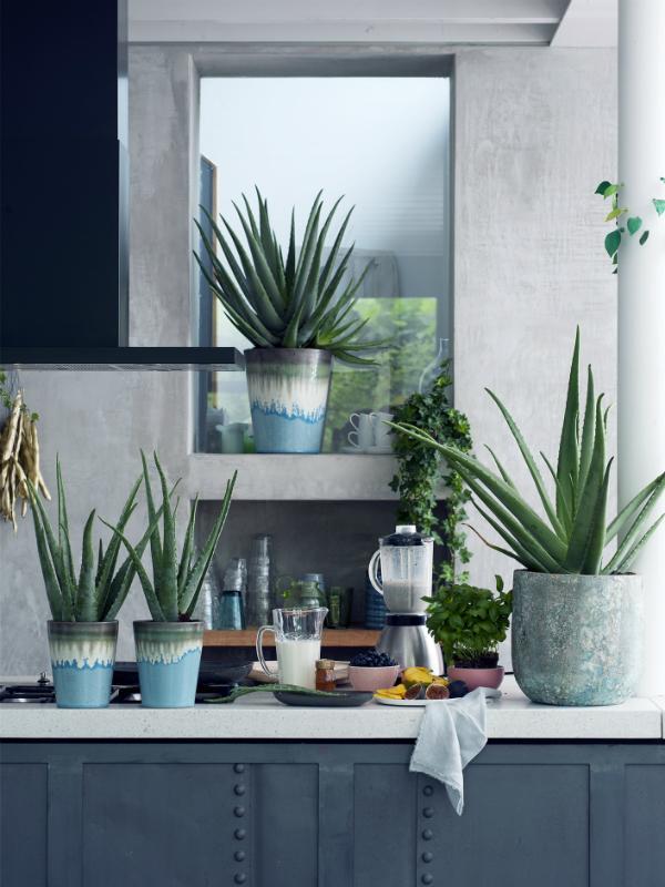 Aloe vera Pflanzenfreude.de