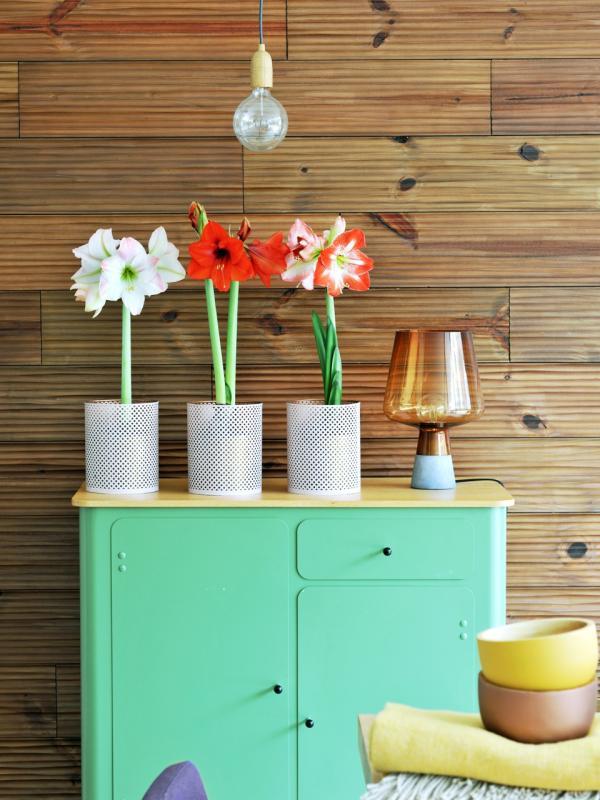Amaryllis – Pflanzenfreude.de