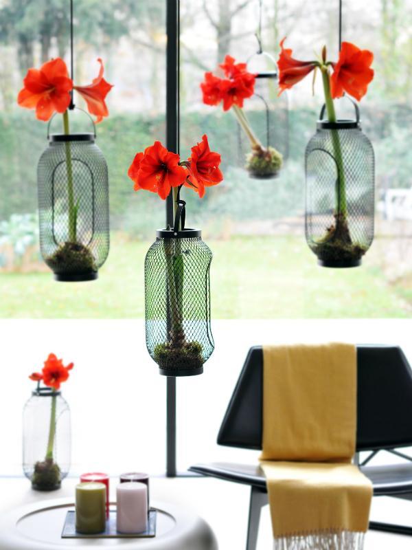 amaryllis zur einstimmung auf die weihnachtszeit pflanzenfreude. Black Bedroom Furniture Sets. Home Design Ideas