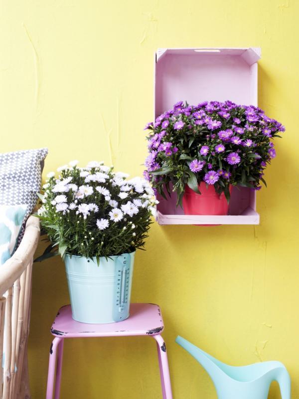 aster pflanzenfreude. Black Bedroom Furniture Sets. Home Design Ideas