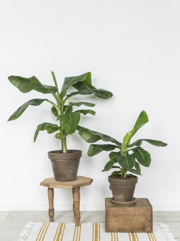 Bananenpflanze Pflanzenfreude.de