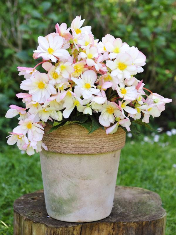 Begonia pflanzenfreude.de