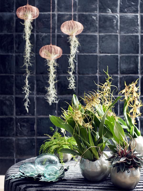 Brassia – Pflanzenfreude.de