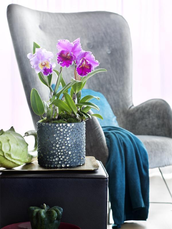 Cattleya – Pflanzenfreude.de