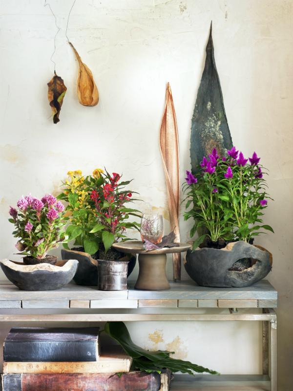Celosie – Pflanzenfreude.de
