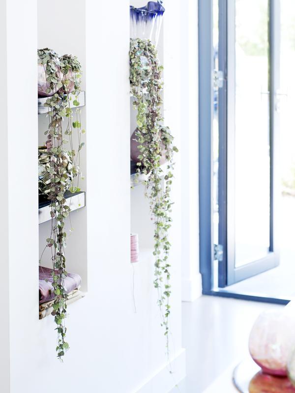 Leuchterblume – Pflanzenfreude.de