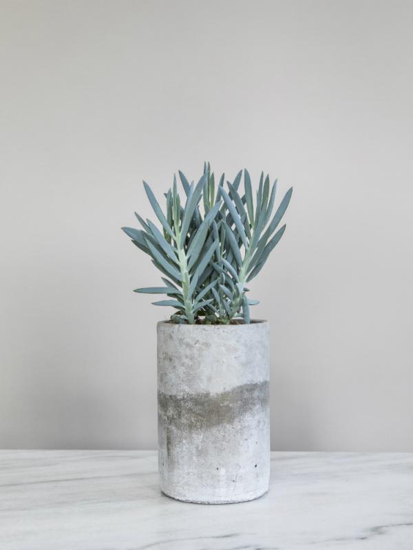 Curio Mount Everest Pflanzenfreude.de