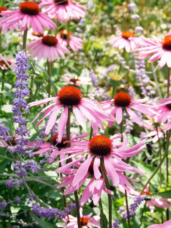 Sommerblüher bescheren einen farbenfrohen Garten, pflanzenfreude.de