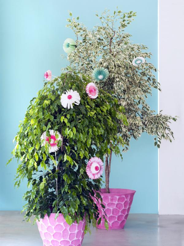 Ficus Benjamina - Pflanzenfreude.de