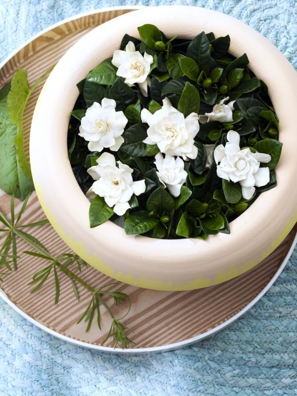 Duftende und weiß blühende Gardenie – Pflanzenfreude.de