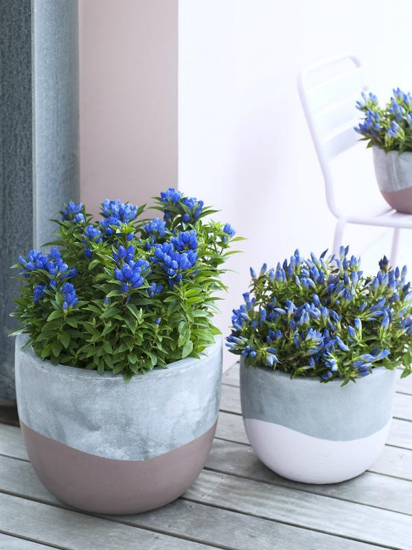 Enzian Pflanzenfreude.de