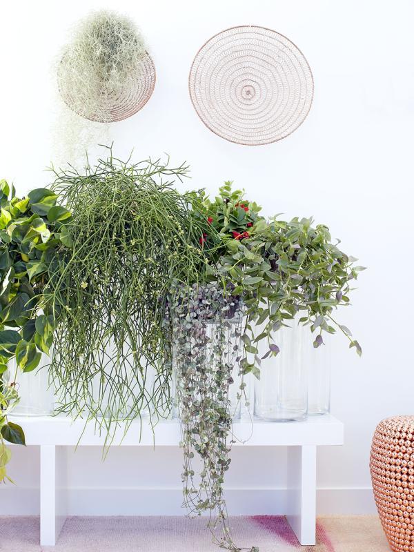 Hängepflanzen – Pflanzenfreude.de