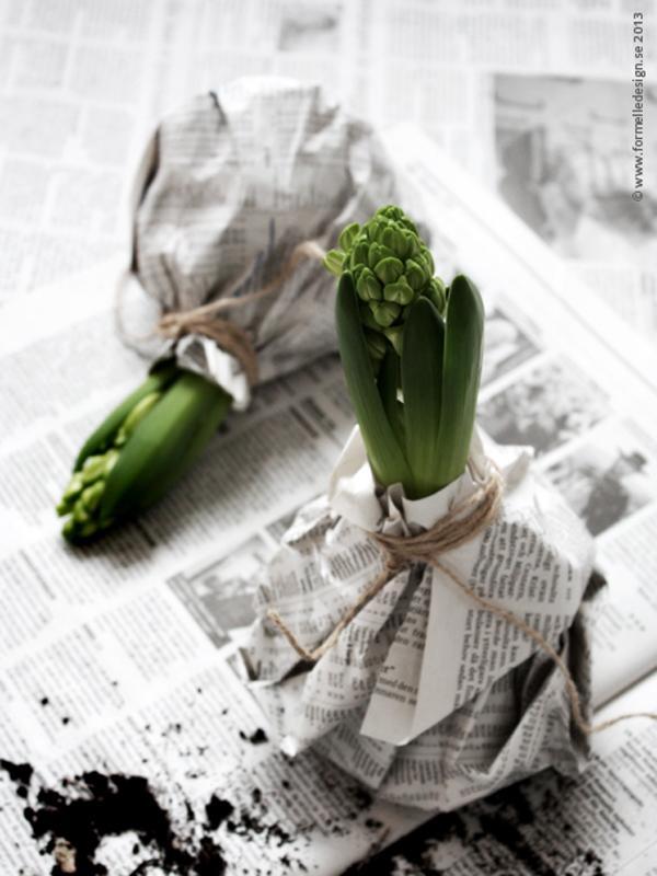 Die Hyazinthe in der schwarz-weißen Jacke - Pflanzenfreude.de