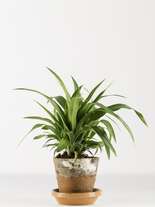 Grünlilie Pflanzenfreude.de