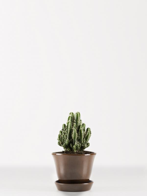 Säulenkaktus Pflanzenfreude.de