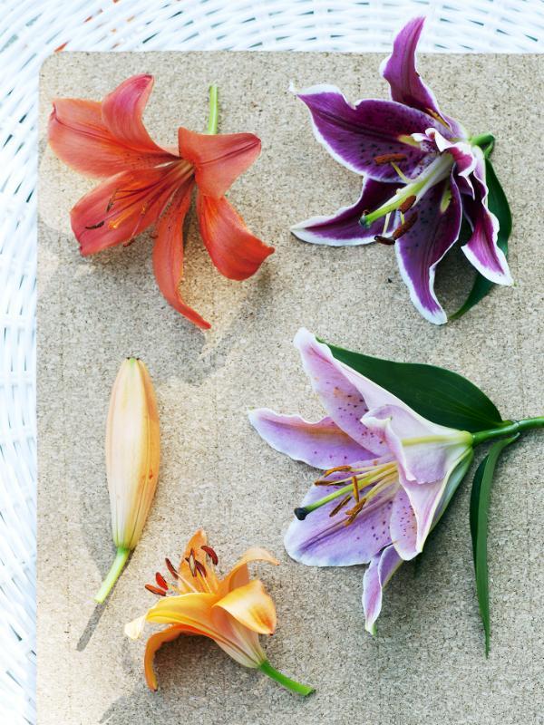Lilie Pflanzenfreude.de