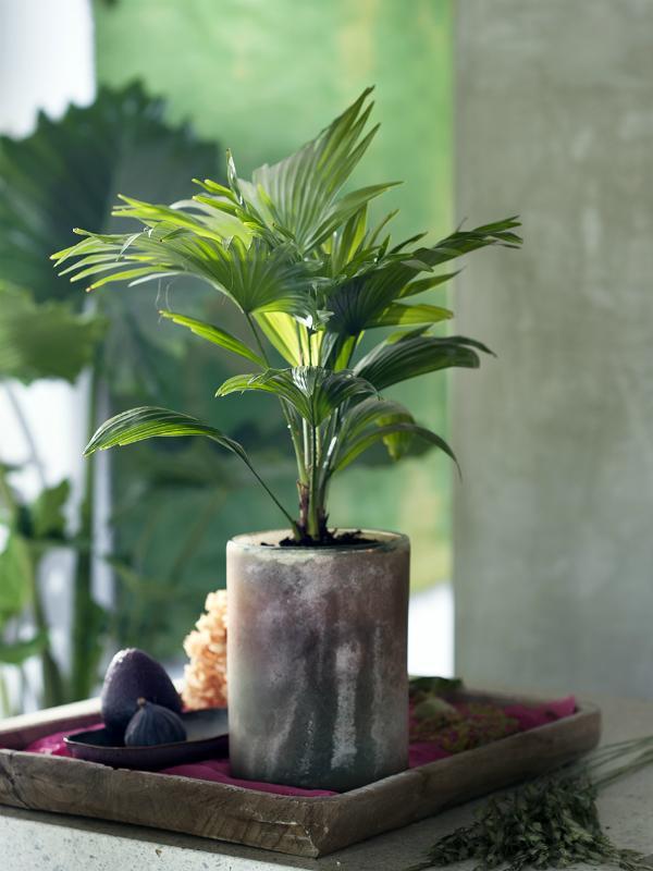 Livingstonpalme – Pflanzenfreude.de