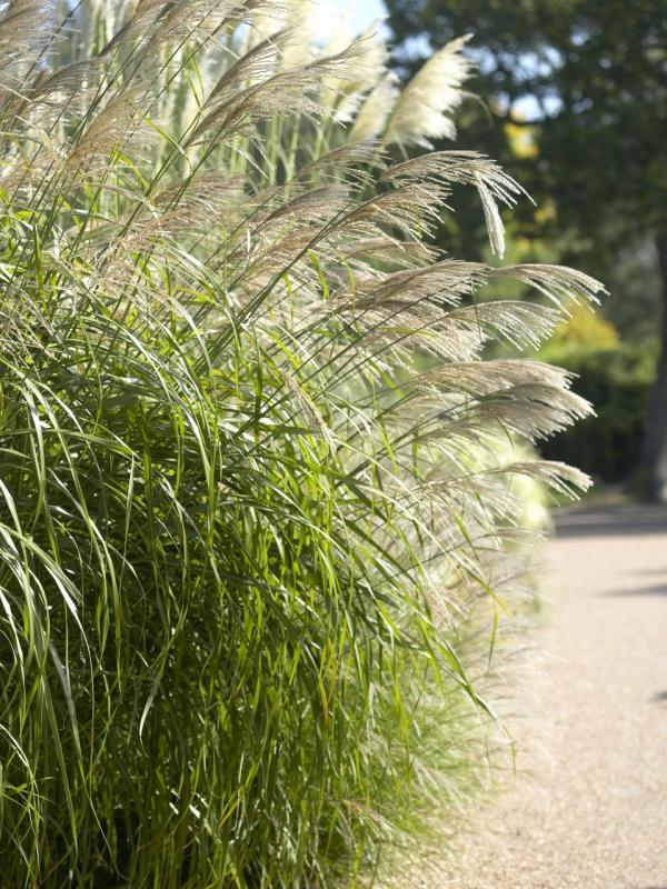 Chinaschilf Pflanzenfreude.de