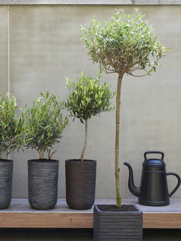Oliven pflanzenfreude.de