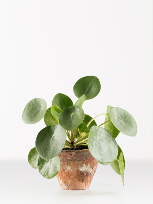 Ufopflanze Pflanzenfreude.de