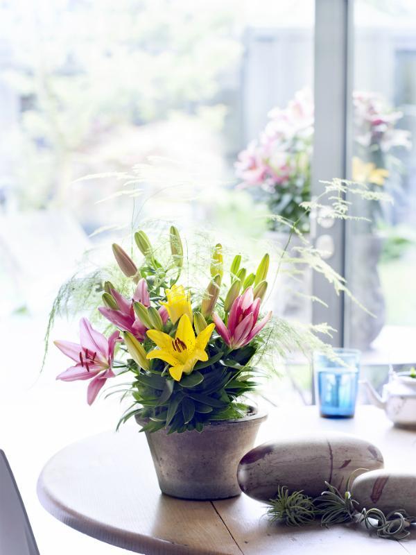 Topflilie – Pflanzenfreude.de