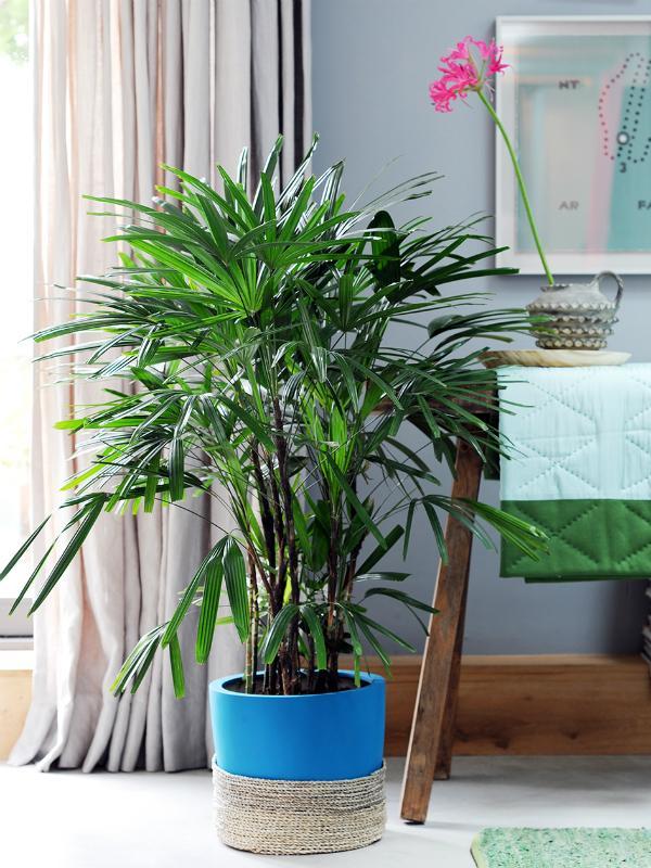 Steckenpalme – Pflanzenfreude.de