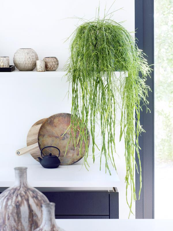 Rhipsalis - Pflanzenfreude.de