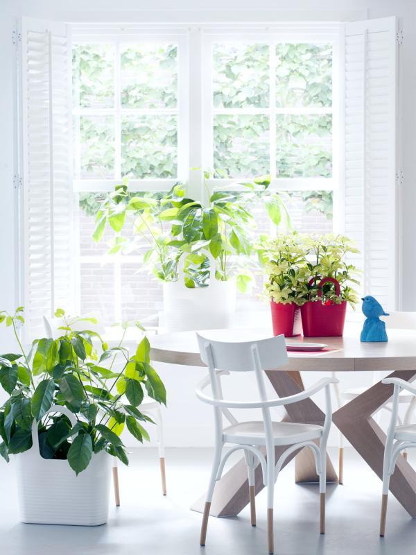 Strahlenaralie – Pflanzenfreude.de