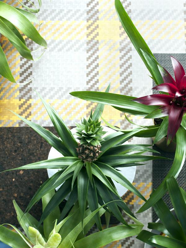 Zierananas – Pflanzenfreude.de