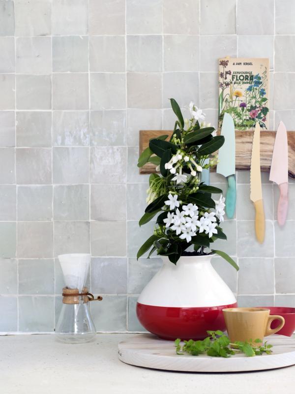 Duftende und weiß blühende Stephanotis – Pflanzenfreude.de