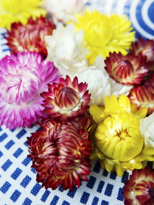 Strohblumen Trocknen strohblume pflanzenfreude